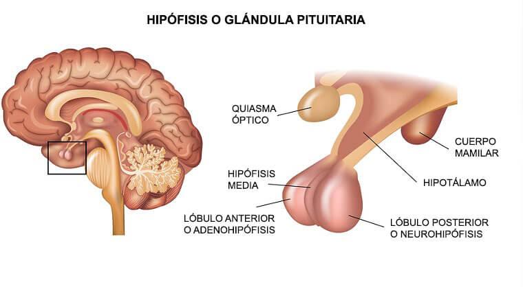 Las hormonas son sustancias químicas que se segregan por orden del cerebro