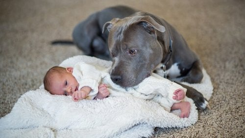 perro-tapando-bebe