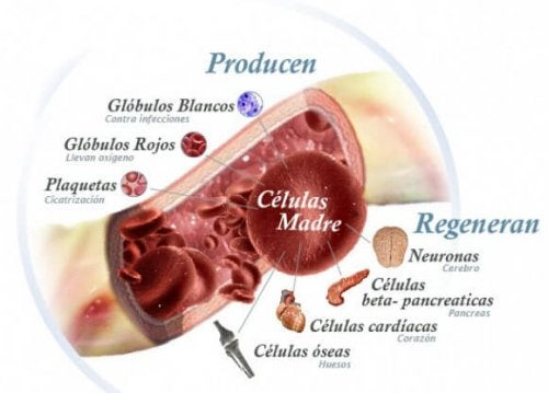 Que-Son-Celulas-Madre