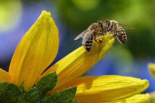 El propóleo es una sustancia que proviene de las abejas.