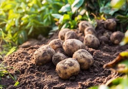 Las patatas contienen una gran cantidad de almidón