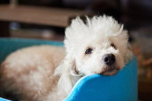 El poodle es una de las mejores razas de perro pequeños para niños.