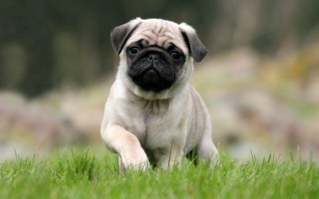 Un pug carlino es un buen perro para un niño pequeño.