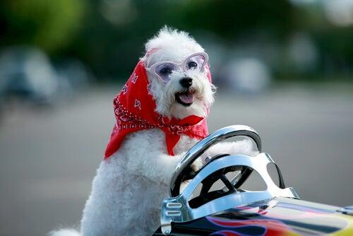 El bichón frisé es una de las mejores razas de perros pequeños para niños