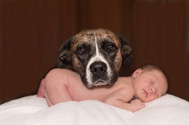 Hay que preparar a nuestra mascota para la llegada del bebé.