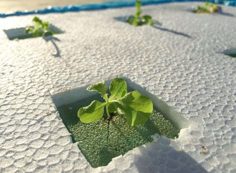 Sistema de cultivo hidropónico casero