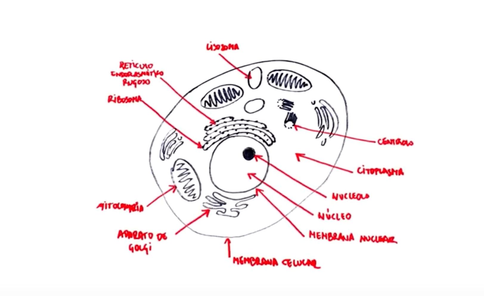 Cómo explicar la célula a los niños.