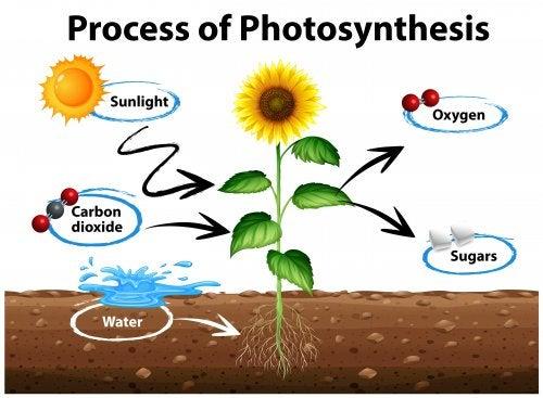 El ciclo de la fotosíntesis para niños.