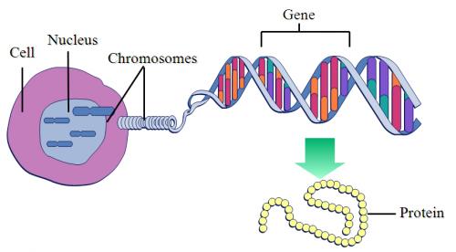 Génetica para niños: ¿qué son los genes y los cromosomas?