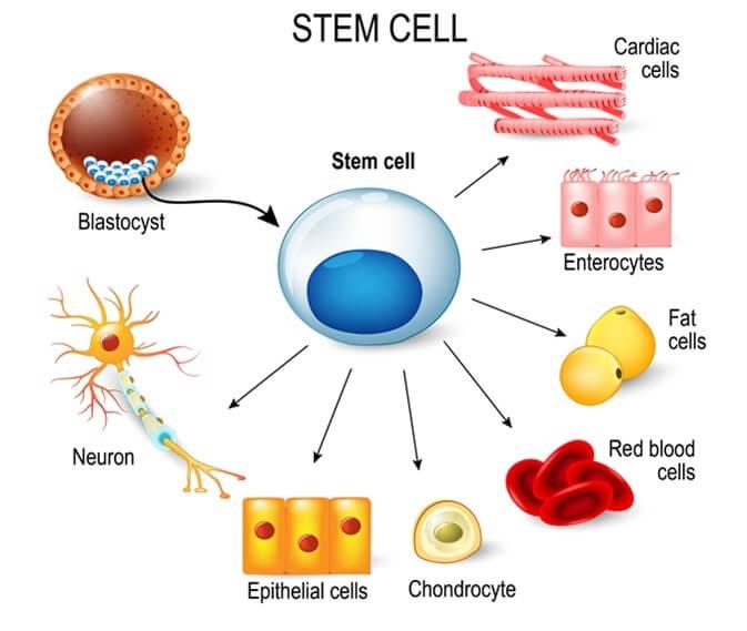 ¿Cómo explicar las células madre a niños?