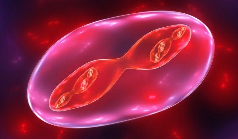 Cómo explicar las fases de la meiosis a los niños