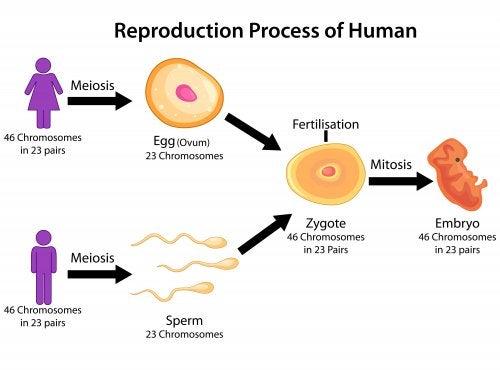 Cómo explicar las fases de la meiosis a los niños.