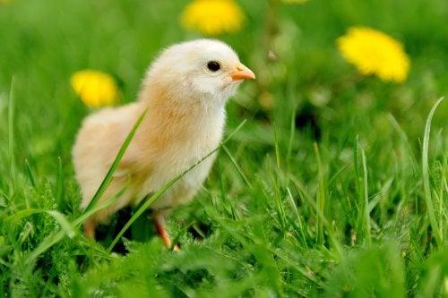 El fenómeno literario infantil: el pollo Pepe.