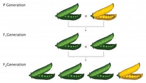 Experimento genético con guisantes para crear las leyes de Mendel.