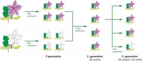 Experimento genético de Mendel.