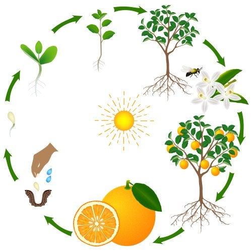El ciclo de la vida de un árbol explicado para niños.