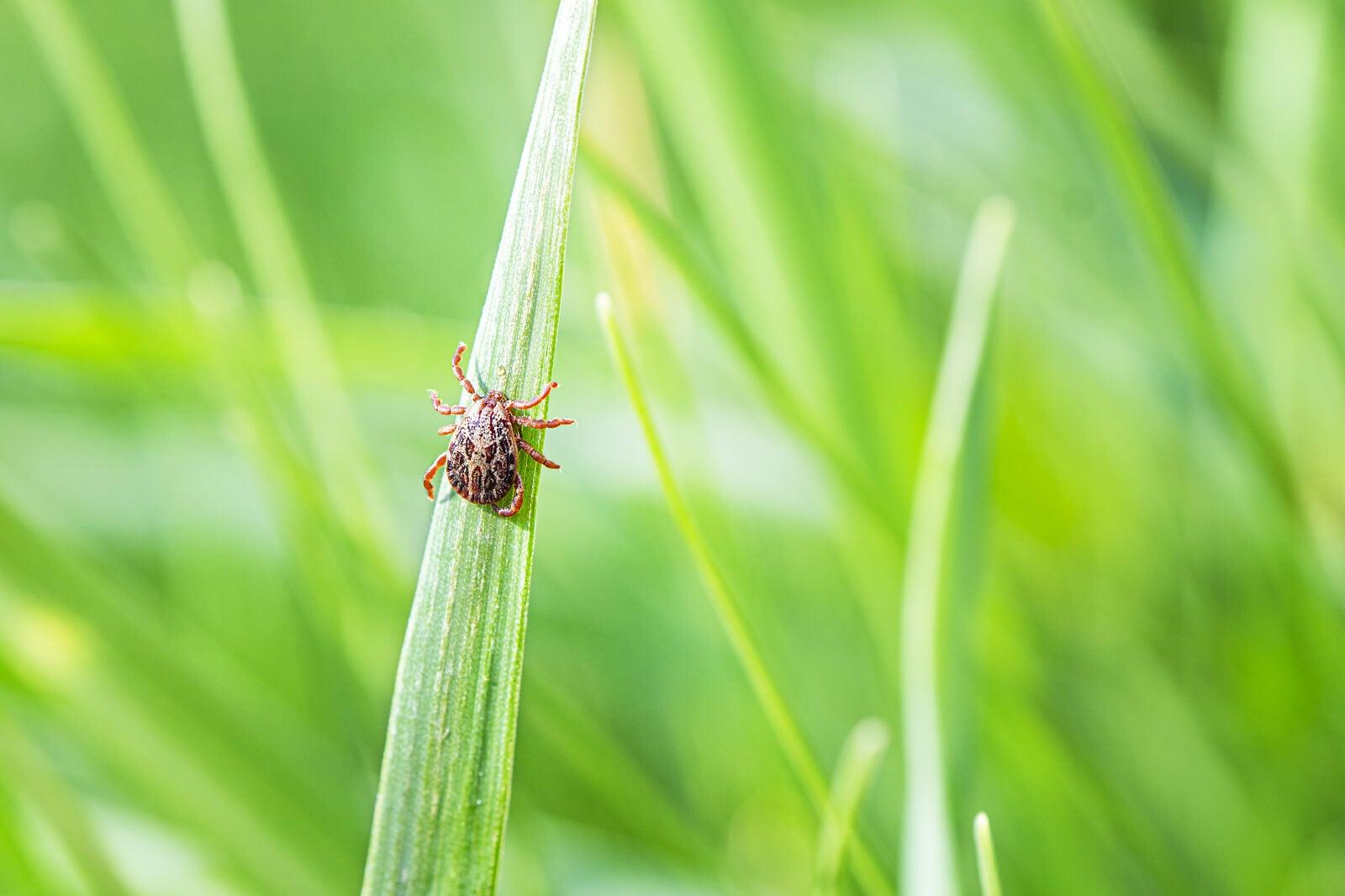 Garrapata en una hoja de hierba en el campo.