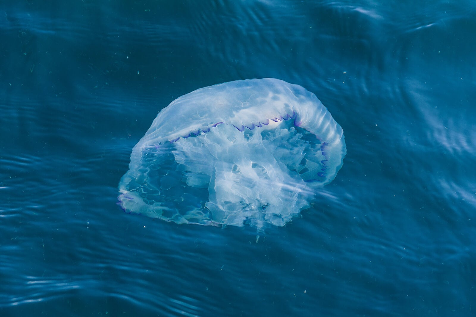 Medusa en el mar.