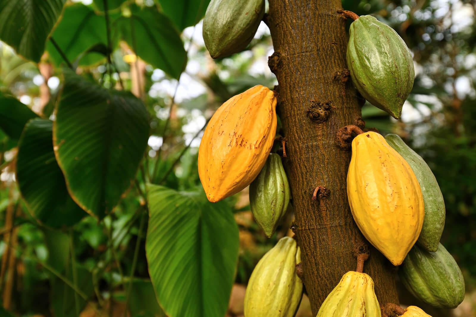 Planta de cacao.
