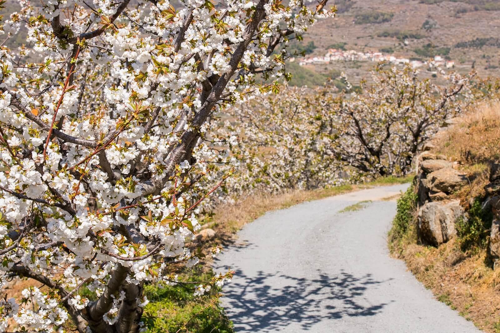 Valle del Jerte con los cerezos en flor para hacer rutas de senderismo.
