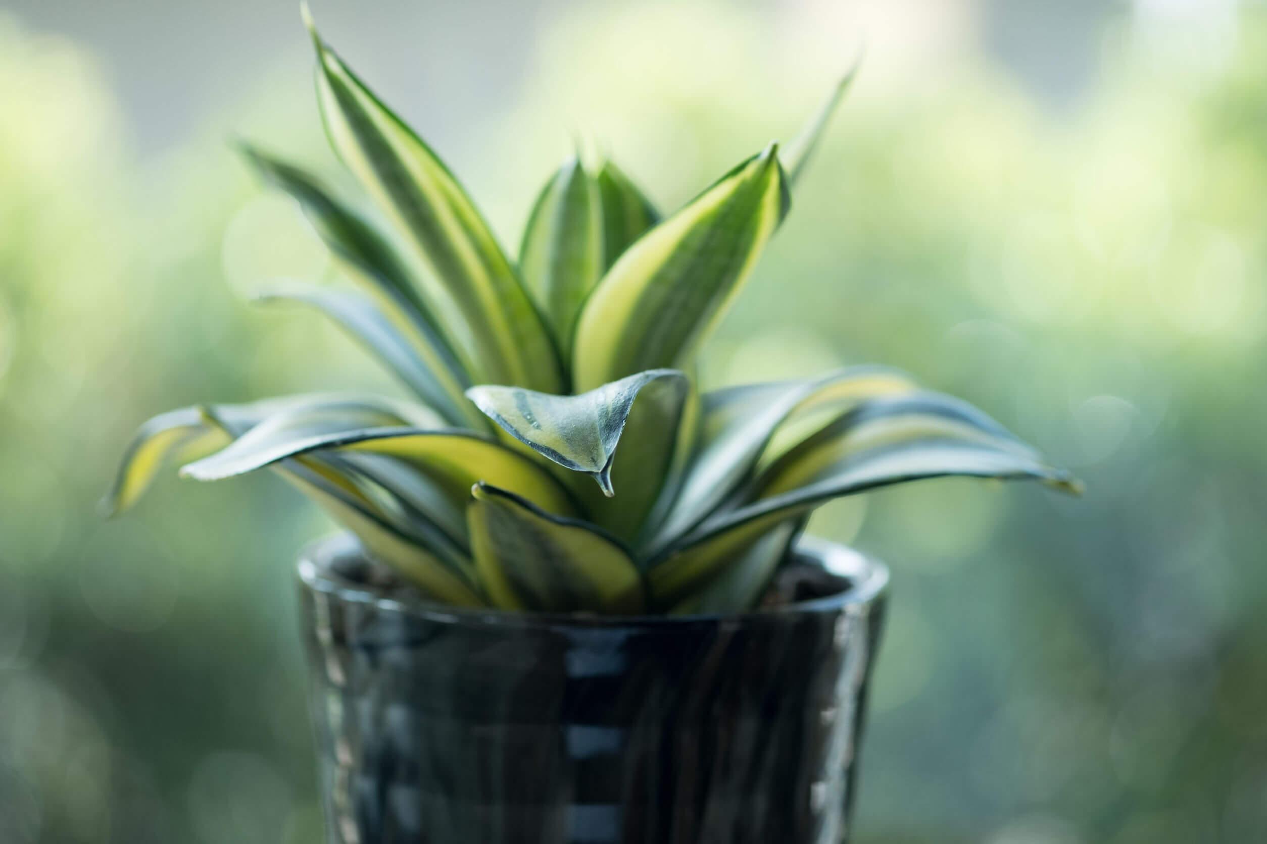 La sansevieria es una de las plantas para niños fáciles de cuidar.