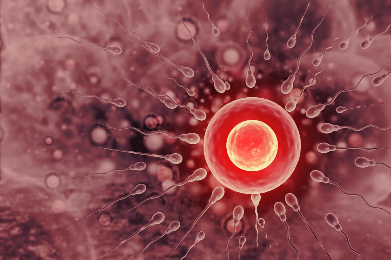 fecundacion ovulo ovocito espermatozoide utero tuba trompa de falopio huevo cigoto reproduccion humana in vivo fertilizacion concepcion